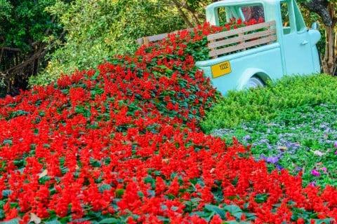 サルビア 赤 ガーデニング 地植え 寄せ植え