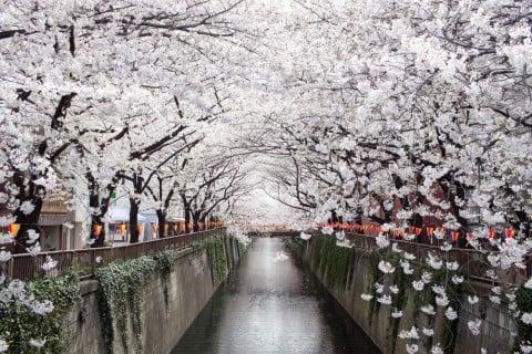 花見 サクラ ピンク 川