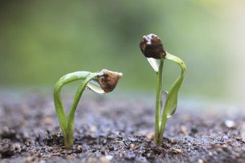 ホウレンソウ 種まき 発芽
