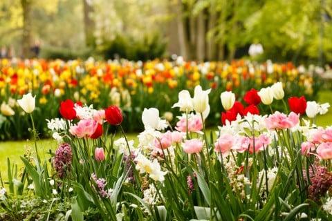 春 ガーデニング チューリップ 庭