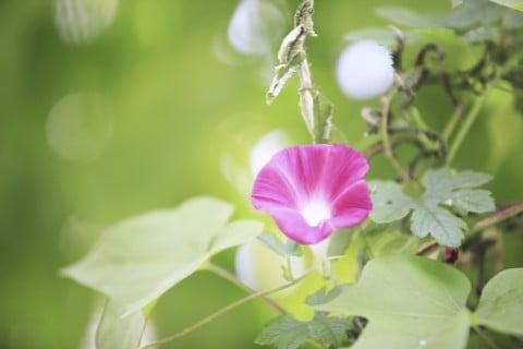 アサガオ 花 紫