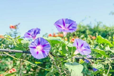 アサガオ 花