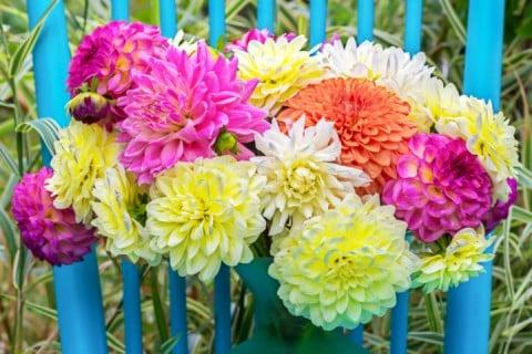 ダリア 切り花