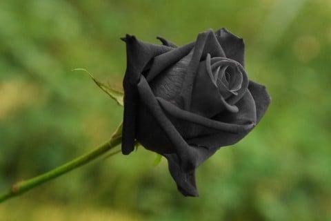 黒色 バラ