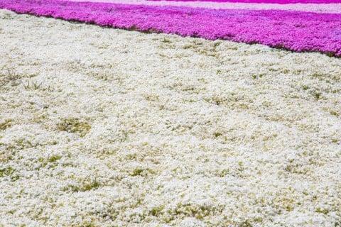 シバザクラ 芝桜 白