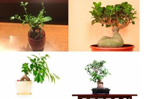 ガジュマル 観葉植物