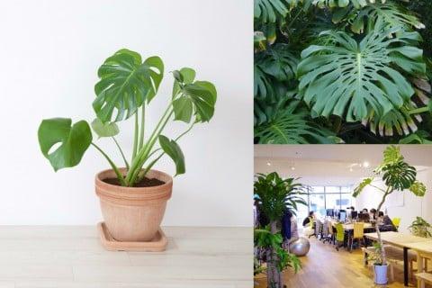 モンステラ 観葉植物