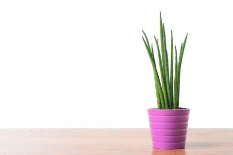サンスベリア 観葉植物