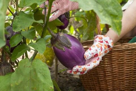 ナス 茄子 収穫