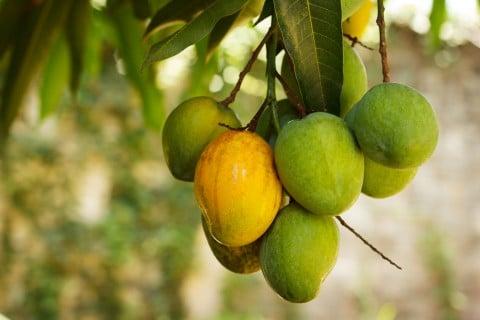 マンゴー 実 果実