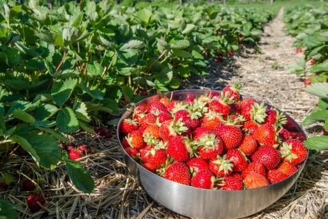 イチゴ 苺 収穫