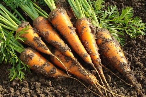 有機栽培 ニンジン 有機農業