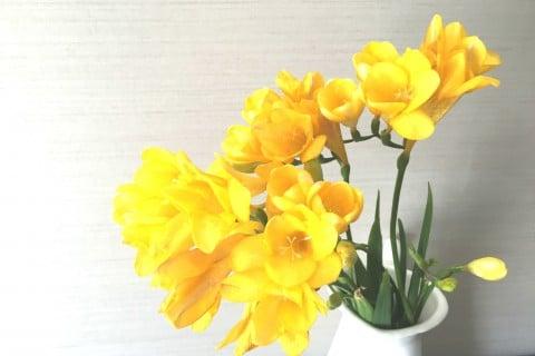 フリージア 黄色
