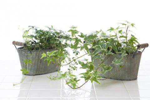 観葉植物 ヘデラ アイビー