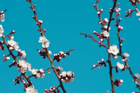 アーモンド 花