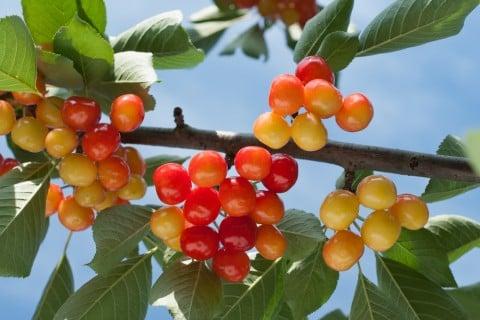 さくらんぼ(桜桃)の種類や品種、...