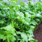 セロリ 野菜栽培