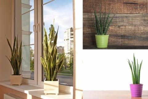 サンスベリア2 観葉植物