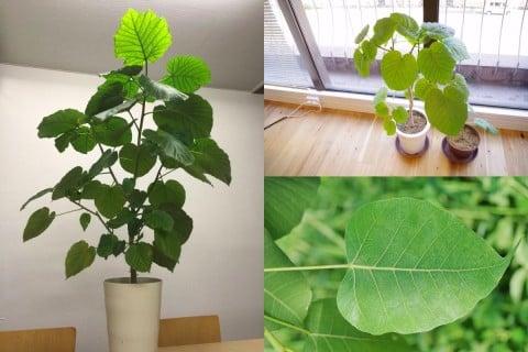 ウンベラータ 観葉植物