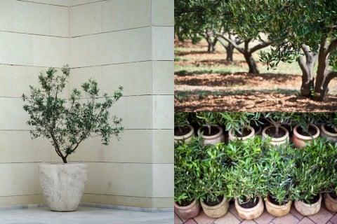 オリーブ 観葉植物