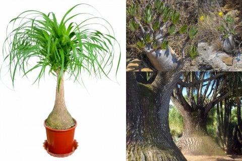 トックリラン 観葉植物