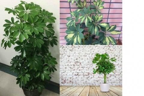 カポック シェフレア シェフレラ 観葉植物