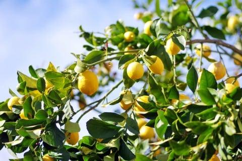 レモン 木 栽培