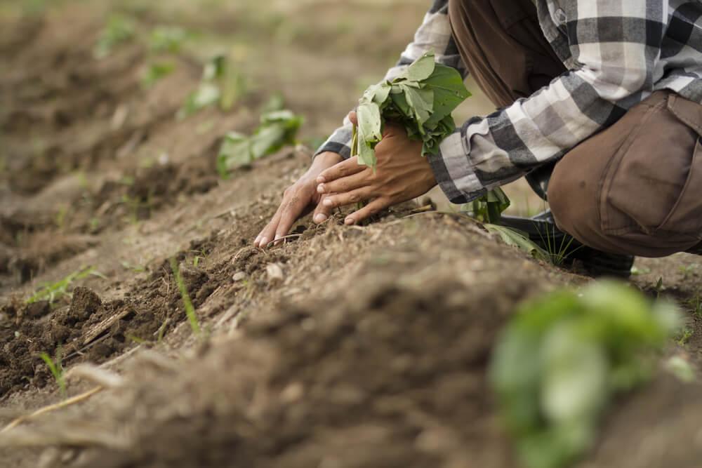 サツマイモの苗を地植えしている画像