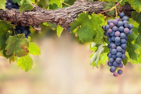 ブドウ ぶどう 葡萄