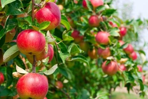 リンゴ 木