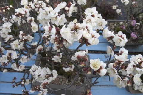 梅 盆栽 ウメ