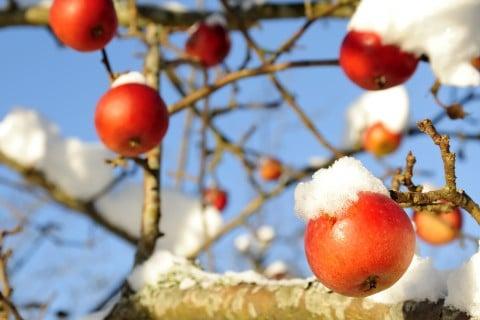 リンゴ 冬