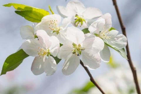 姫林檎 ヒメリンゴ