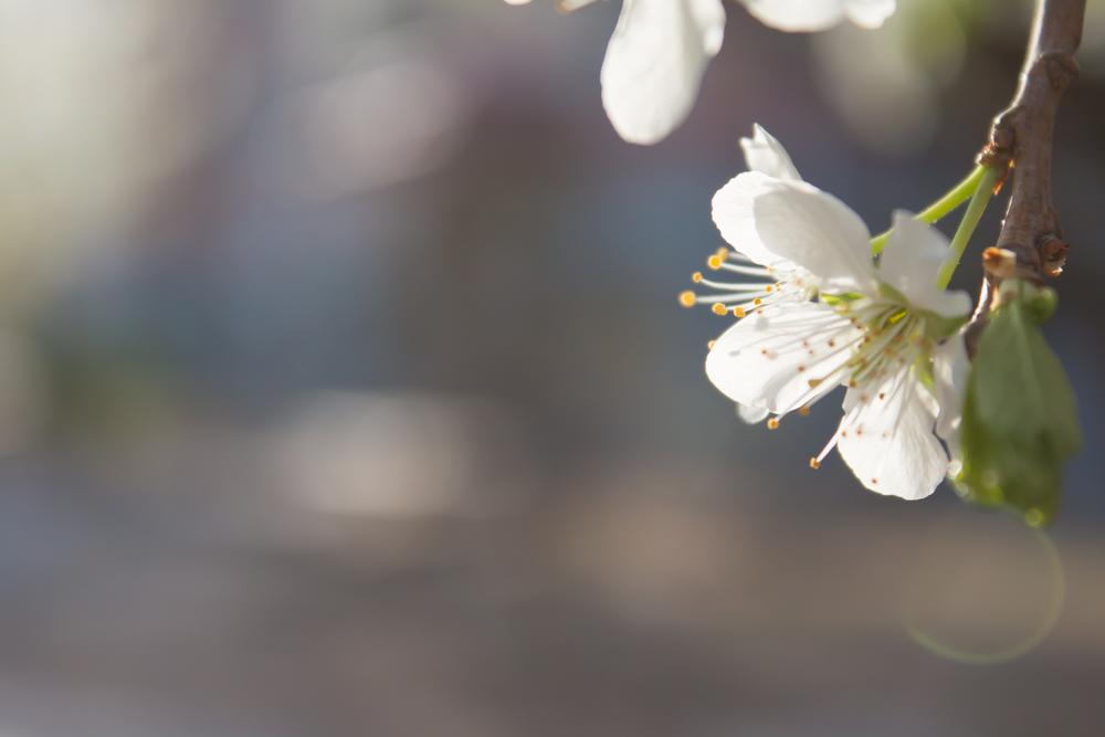 ナシ 梨 花