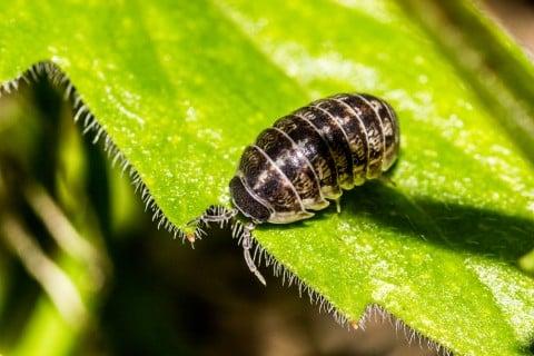 害虫 虫喰い穴 食害3 ダンゴムシ