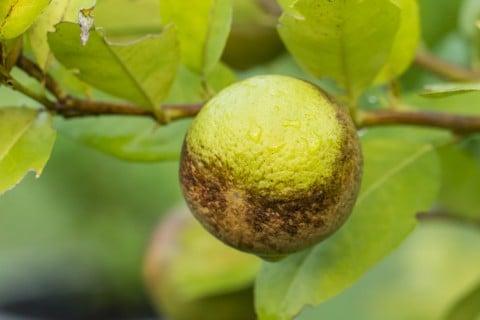 アザミウマ レモン