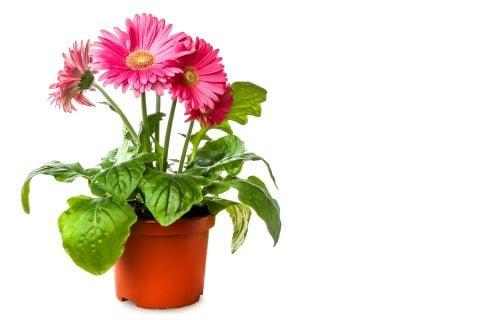 【ガーベラの育て方】種まきや鉢植え、植え替え方 …