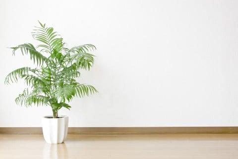 観葉植物 ヤシ