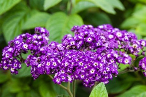 ヘリオトロープ 花