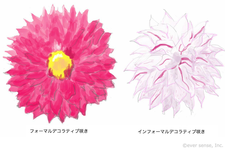 ダリア デコラティブ咲き イラスト