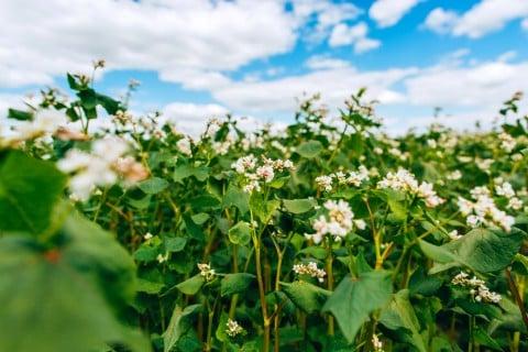 ソバ 花 畑