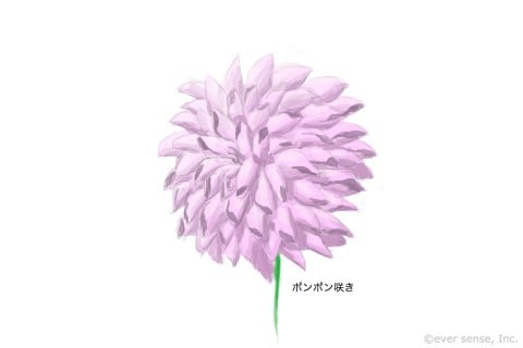 ダリア ポンポン咲き イラスト