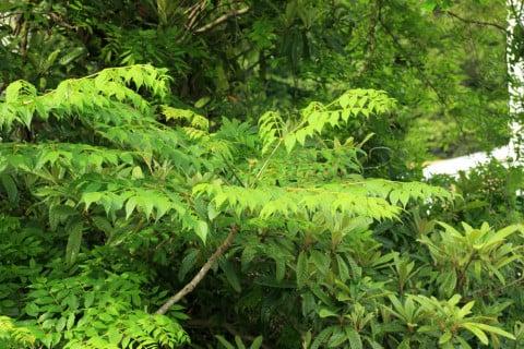 タラノキ タラノメ タラの芽
