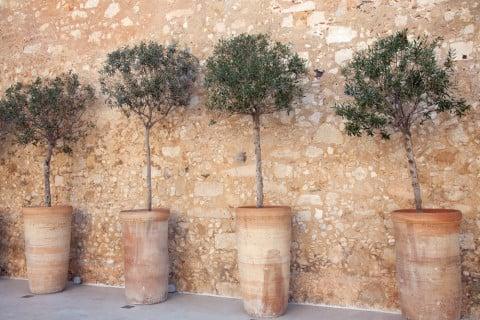 オリーブ テラコッタ 苗木