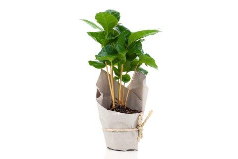 人気観葉植物コーヒーの木