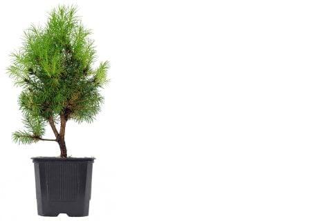 モミノキ 鉢植え