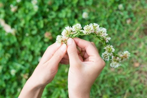 シロツメクサ 花冠