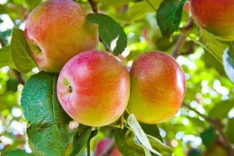 リンゴ 木 実