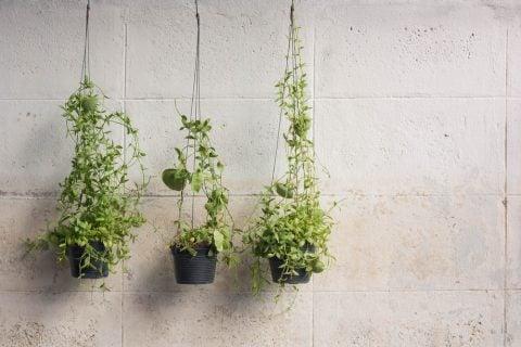 ハンギングバスケット 観葉植物