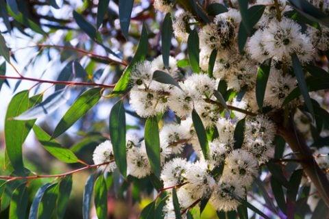 ユーカリ 観葉植物5